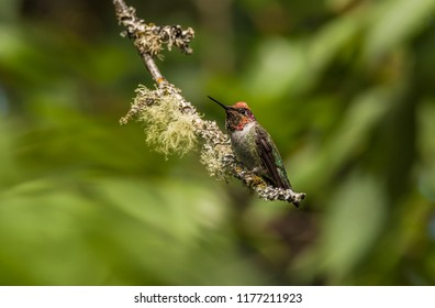 Male Anna's hummingbird (Calypte anna) perched on a dead branch of an old cherry tree against a blurred mostly green background in Seattle in late summer. Several kinds of lichens are on the branch.