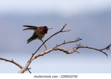 Male Anna's Hummingbird display of colors  La Jolla, San Diego, California (The adult male has an iridescent crimson-red derived from magenta to a reddish-pink crown and gorget)