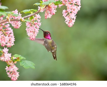 A male Anna's hummingbird hovers as it drinks the nectar from the pink flowers