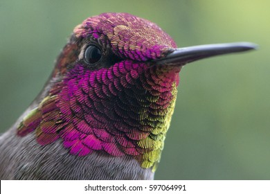 Male Anna's Hummingbird - Macro