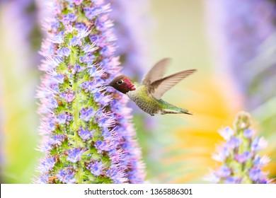 Male Anna's Hummingbird in Purple Flowers