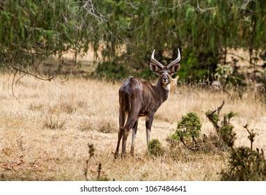 male antelope of  ethiopia