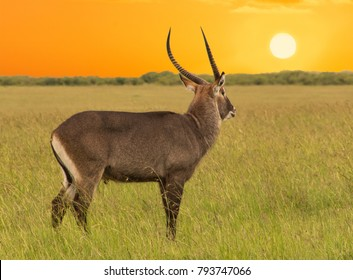 The male antelope in the vast African Savannah at sunset