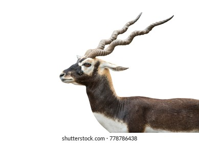 Male antilope cervicapra isolated on white background