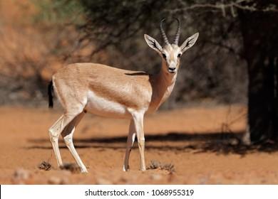 Male Arabian sand gazelle (Gazella marica), Arabian Peninsula