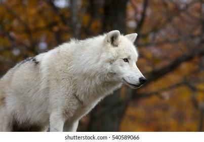 Male Arctic wolf