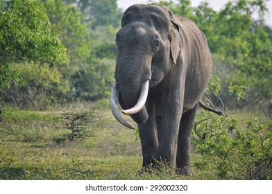 Male asian elephant with entwined tusks
