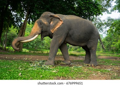 Male Asian elephant with ivory, fourty years old
