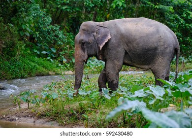 a male asian elephant near the river