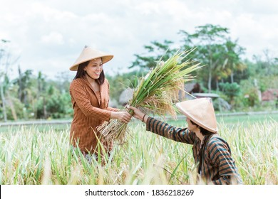 Male Asian farmers give harvested rice to female farmers when they harvest together in the fields