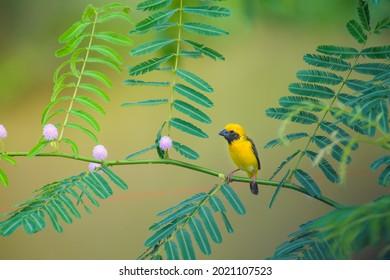 Male Asian Golden Weaver bird, Ploceus hypoxanthus, perching on branch.