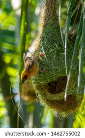 Male Asian Golden Weaver weaving and decorating his nest