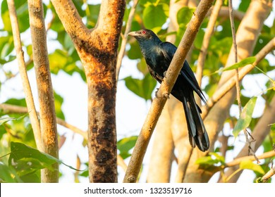 Male Asian Koel perching on a Bo tree perch