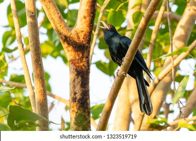 Male Asian Koel perching and singing on a Bo tree perch