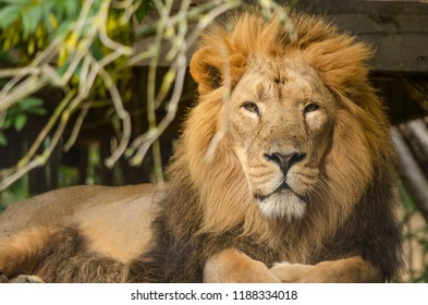 A male asiatic lion at rest