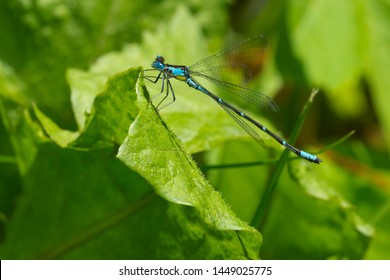 Male Aurora Damsel Damselfly perched on a green leaf. Aurora Damsel Damselfly - Chromagrion conditum