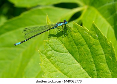 Male Aurora Damsel Damselfly perched on a green leaf. Aurora Damsel Damselfly - Chromagrion conditum