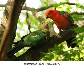 Male Australian king-parrot feeding juvenile, Australia