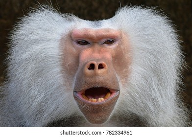 Male Baboon (relaxed)