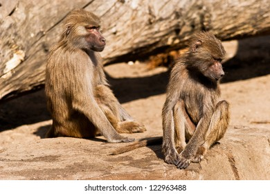 Male baboons  on a concrete base