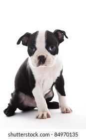 Male baby Boston Terrier on white, vertical.