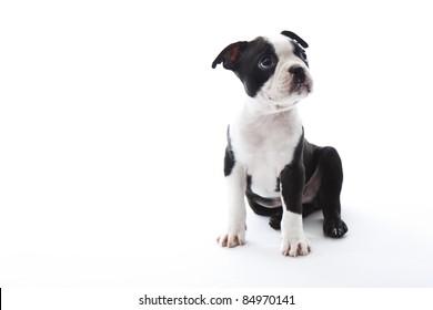 Male baby Boston Terrier on white, horizontal.