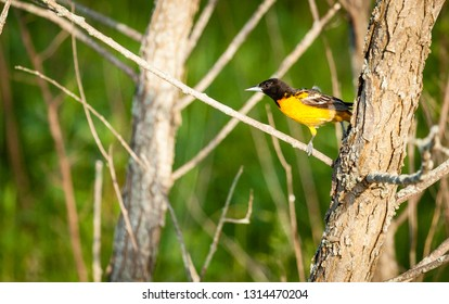 Male Baltimore Oriole bird in Central Kentucky