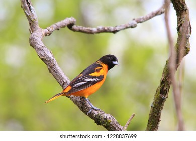 A male Baltimore Oriole in breeding plumage visits a bird feeder in Saint Louis, Missouri, USA.  With stunning golden yellow coloration, this bird represents extreme colors in nature.  Beautiful.