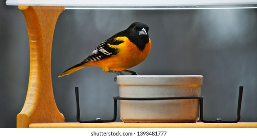 A male Baltimore Oriole in breeding plumage visits a bird feeder in Minnesota. Beautiful vivid orange yellow color makes this bird easy to locate in nature.