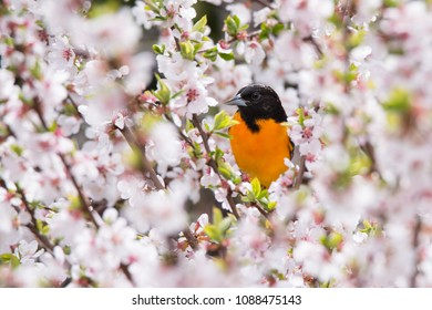 A male Baltimore Oriole forages for a meal among the cherry blossoms at Toronto's Rosetta McClain Gardens.