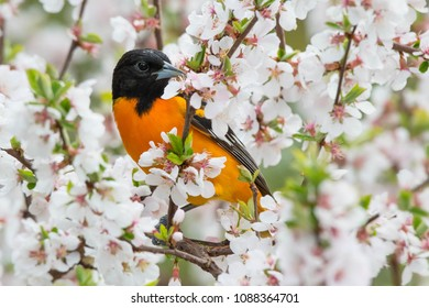 Male Baltimore Oriole perched in a cherry tree looking for bugs in the blossoms. Rosetta McClain Gardens, Toronto, Ontario, Canada.