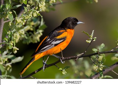 Male Baltimore Oriole Perched On Branch With Foliage and White Flowers