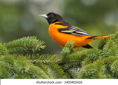 Male Baltimore Oriole perched on an evergreen branch. Ashbridges Bay Park, Toronto, Ontario, Canada.