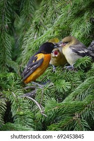 Male Baltimore Oriole visiting our backyard this week with two new new offspring. The kids were quick to voice displeasure if they were not getting enough food.