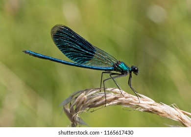 Male banded demoiselle (Calopteryx splendens), damselfly, insect
