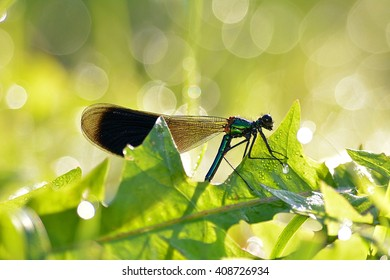A male banded demoiselle damselfly warms itself in the morning sun.