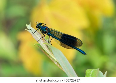 A male banded demoiselle dragonfly rests on a leaf.