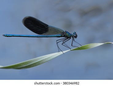 Male Banded demoiselle resting on a leaf