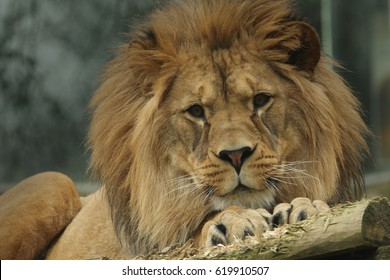 Male of the Barbary lion in a zoo. Critically endangered kind of a large cat that is extinct in the wild.