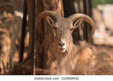 A male Barbary sheep,  Ammotragus lervia, a species of goat-antelope native to rocky mountains in North Africa