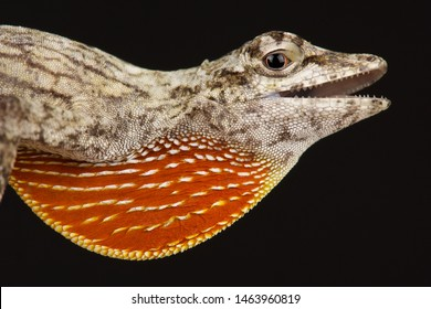 Male Bark Anole (Norops bouvierii)