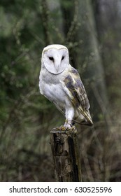 male barn owl standing on a post