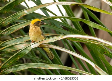Male Baya Weaver with an insect in its beak perching on palm leaf