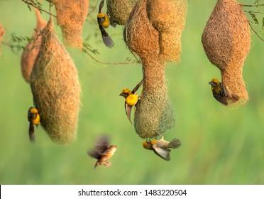 Male Baya weaver (Ploceus philippinus) Attracting female bird in Nesting Colony