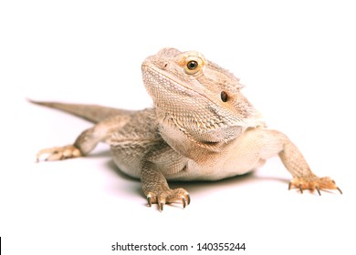 male bearded dragon isolated on white