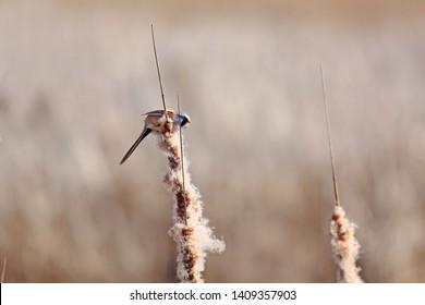 Male Bearded reedling on reeds