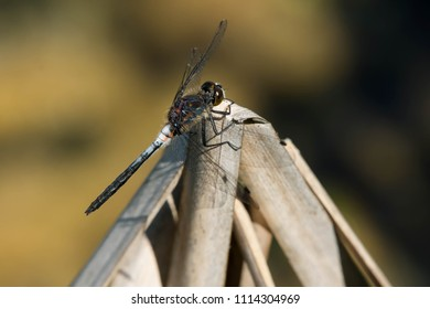 Male Belted Whiteface Dragonfly perched on a dead reed. Carden Alvar Provincial Park, Kawartha Lakes, Ontario, Canada.