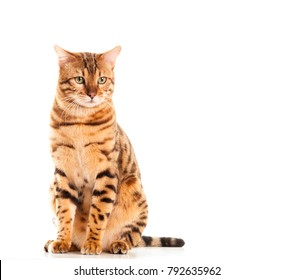 Male Bengal cat sitting down portrait looking into distance isolated on white background