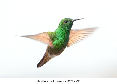 Male Berylline Hummingbird in Mid-Hover