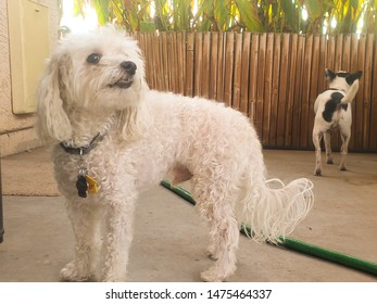 A male Bichon Frise and a male Rat Terrier in the shade of a patio roof on a summer day explore their surroundings